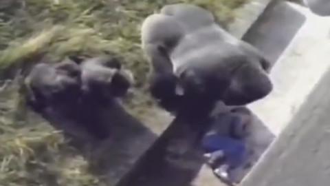 5岁小男孩掉进银背大猩猩的活动区后发生的震撼一幕