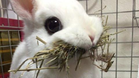 一只在吃樱桃的小白兔